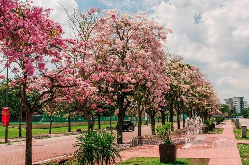 每年三四月或八九月,都是敦大校园内群花盛开的季节。图为校园内的喇叭紫薇树,粉红和白色相间的花朵虽然只盛开数天,那却是敦大校园最美丽的时刻,让人恍如身处日本樱花盛景之中。